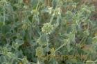 Pemetefű (Marrubium vulgare)